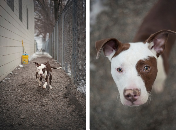 adorable-pitty-mix-in-shelter