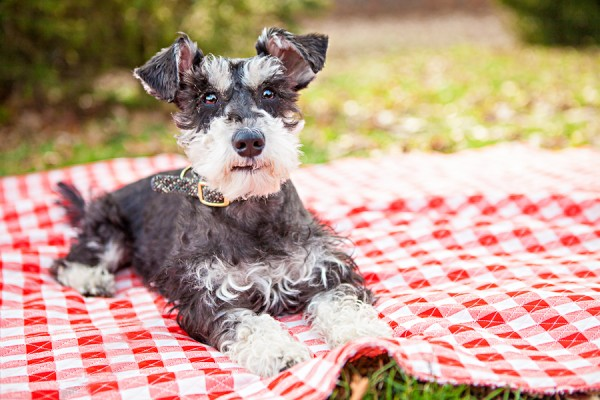 © Chase & Snap Pet Photography | rescue Schnauzer