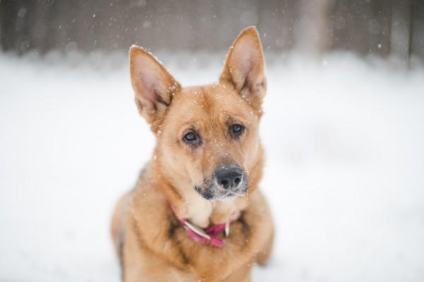 German-Shepherd-in-snow