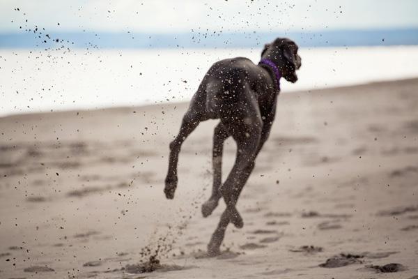 Goat-on-beach, Handsome-dog-running-on-beach