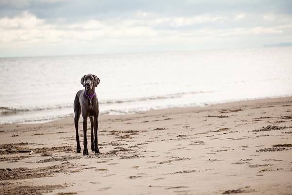 handsome-Dane-Weimaraner-mix-at-beach