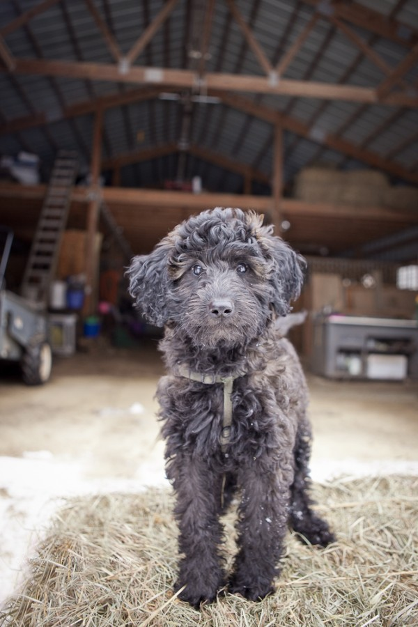 Goldendoodle-pup-in-barn,