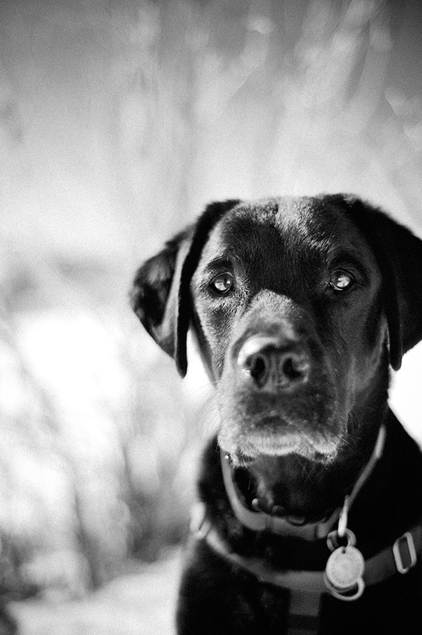 black-lab-portrait
