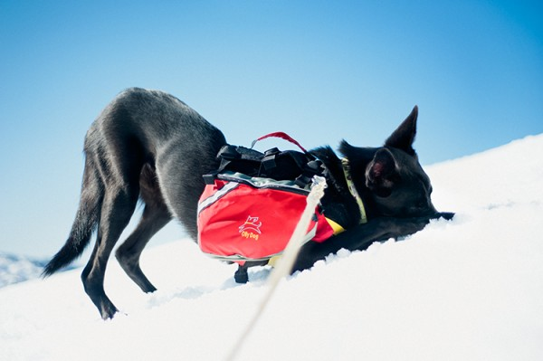 SF-pet-photographers, black-shepherd-mix-playing-in-snow