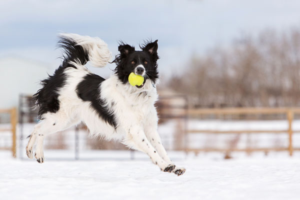 border-collie-catching-ball, Calgary-dog-photographer