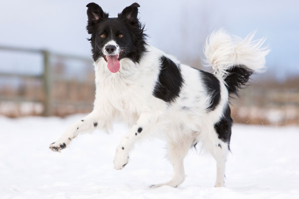 active-dog-photos, black-white-border-collie