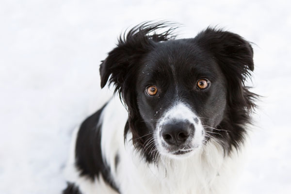 handsome-herding-dog, border-collie-close-up