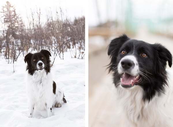 black-white-Border-Collie-in-snow