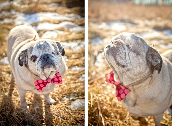 handsome-pug-in-tie, MN-dog-photographer