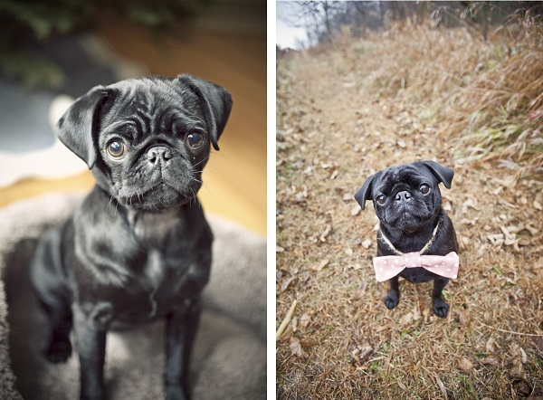 adorable-black-Pug