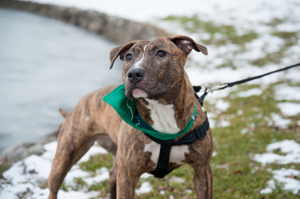 Adopt-Coco!  Pit-City-Rescue, Syracuse-area-photographer