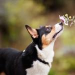Pembroke-Welsh-Corgi-smelling-flower