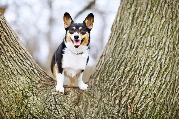 Corgi-in-tree, Sacramento-dog-photographer
