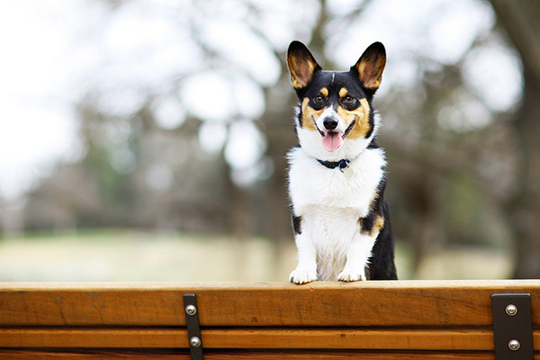 handsome-dog, Franklin-the-corgi