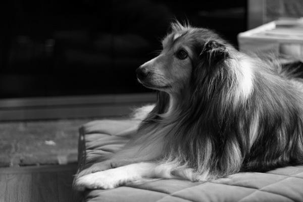 fine-art-portrait-Shetland-sheepdog