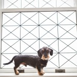 black-tan-wire-haired-Doxie