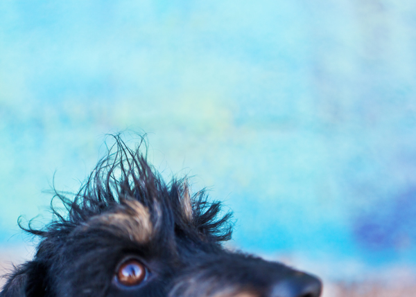 close-up-wirehaired-dachshund, fun-dog-photos