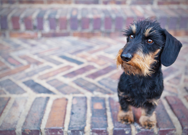 wirehaired-doxie-on-bricks