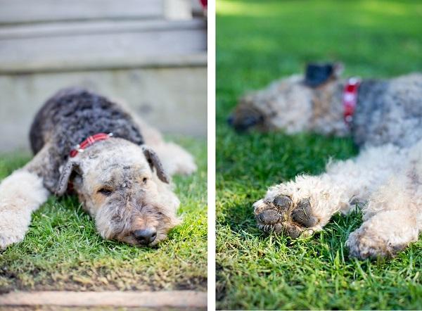 sleepy-dog-portrait