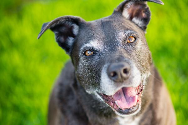 Rhodesian-Ridgeback-Staffordshire-Terrier-mix