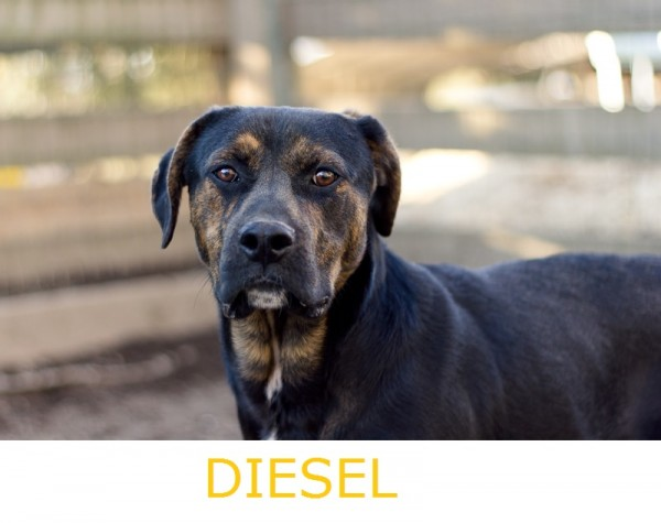 Adopt-Diesel!Labrador-Plott-hound-mixed-breed