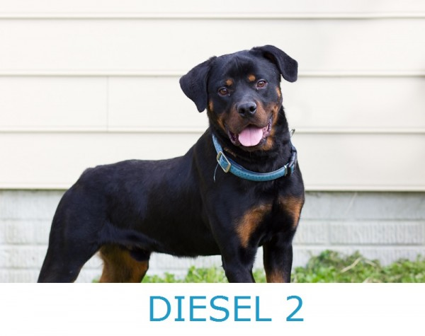 Adopt-Diesel-2! Rottie-looking-for-home