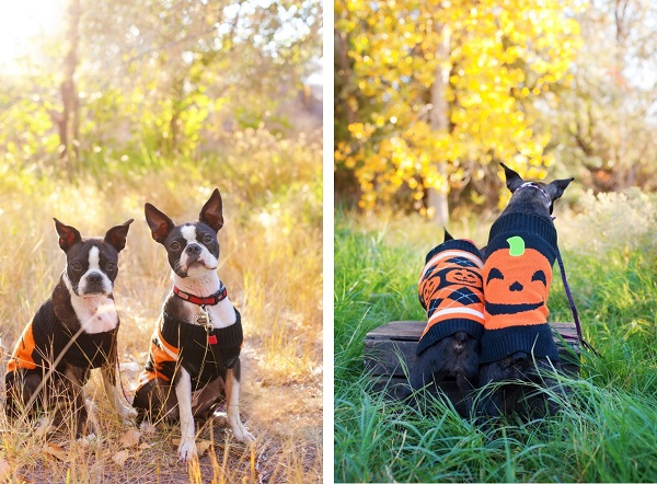 Boston-Terriers-in-Halloween-sweaters, dog-dynamic-duo