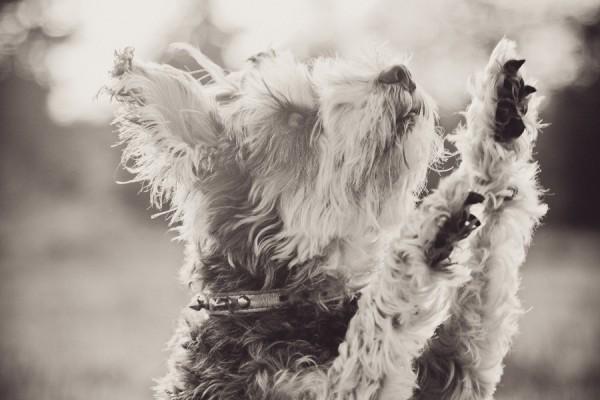 dancing-Schnauzer, b-w-dog-photography