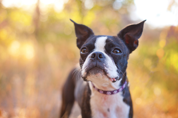 Pasco-WA-pet-photography, Boston-Terrier
