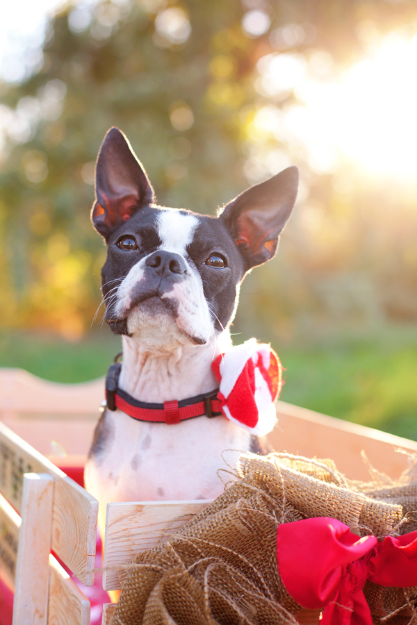 black-white-Boston-Terrier