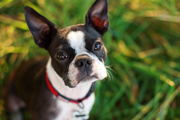 adorable-Boston-Terrier
