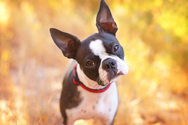 Boston-Terrier-in-field