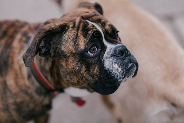 Bulldog-needs-heart-surgery