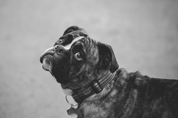 black-white-portrait-of-English-bulldog