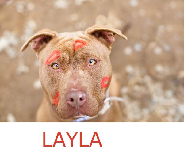 Adopt-Kissabull-Layla!  Herkimer-County-Humane-Society
