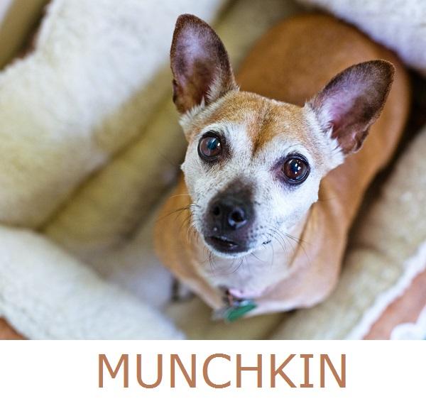 Adopt-Munchkin!