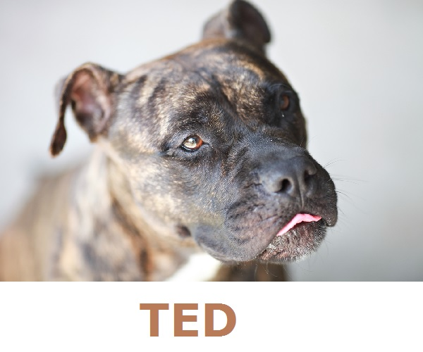 Adopt-Ted!  American-Staffy-adoptable-Queensland-AU