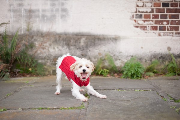 small-mixed-breed-in-red-sweater
