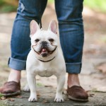 happy-French-bulldog