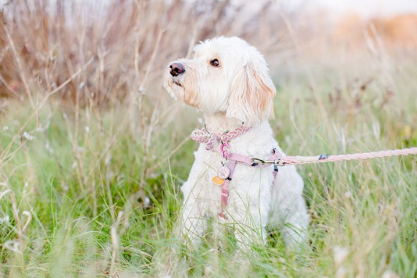 Mini-Labradoodle, Finger-Lakes-region-photographer