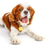 Adopt-Chance- Cavalier Rescue USA