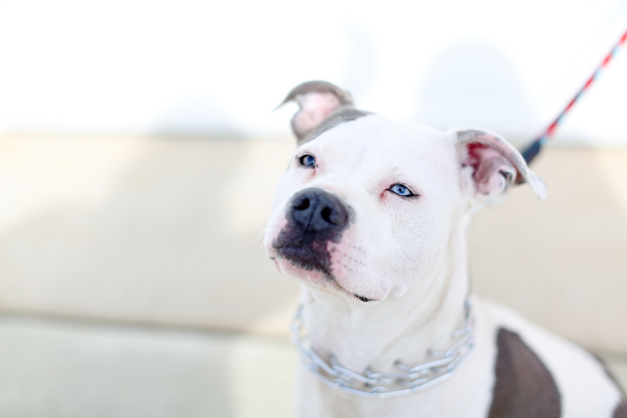 beautiful-pit-bull
