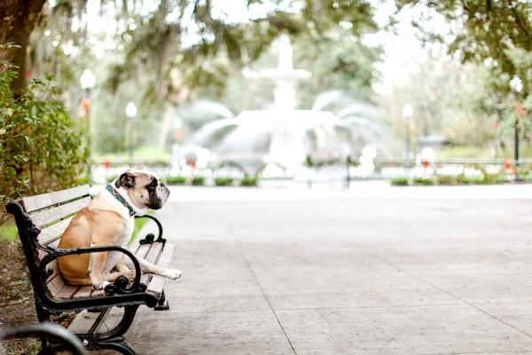 English-Bulldog-on-bench-Savannah-GA