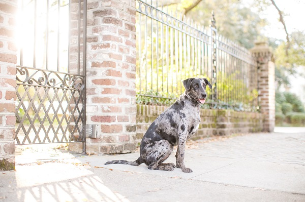 Rescued-blue-merle-Catahoula
