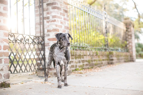 adopted-blue-merle-Catahoula-Palmetto-Paws