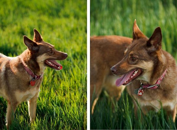 Kelpie, dog-photography