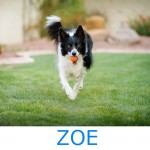 Adopt-Zoe-Arizona-Border-Collie-Rescue