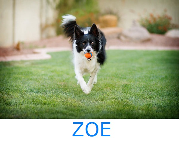 © Kira DeDecker Photography, Adopt-Zoe, Arizona-Border-Collie-Rescue