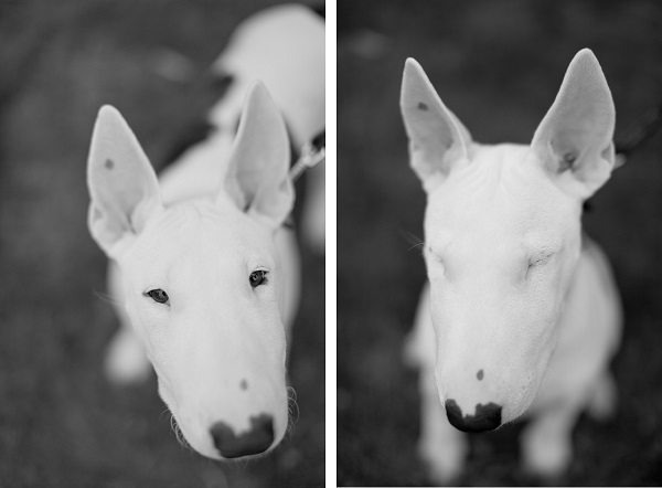 ©  Kathy Lui Photography, Bull-Terrier-pup