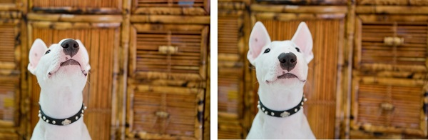 ©  Kathy Lui Photography, silly-Bull-Terrier